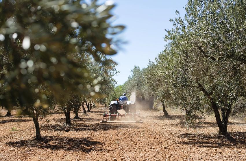 Costi di gestione dell'olivo: potatura e gestione del suolo (parte 2).