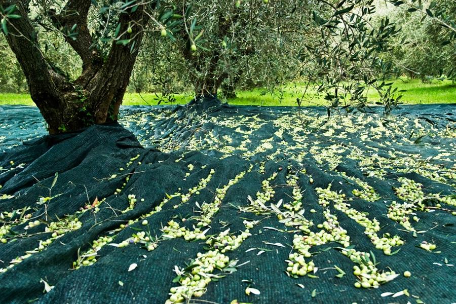 Costi di gestione dell'oliveto: la Raccolta (parte 1)